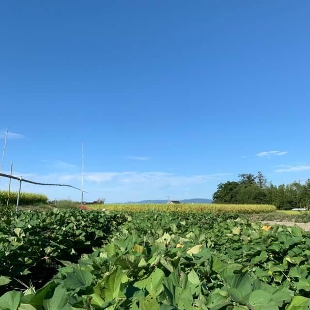 野菜畑のさつまいもが沢山育っている