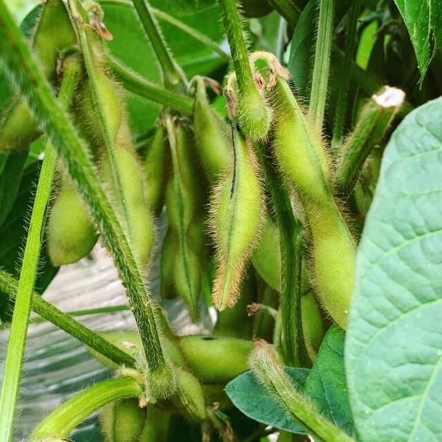 たわわに実った枝豆