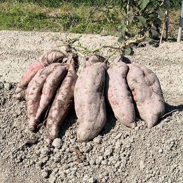 野菜畑に大量に育ててしまったサツマイモを少しずつ収穫しているところ