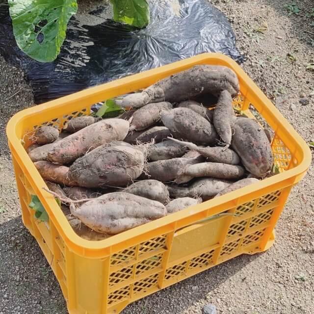 収穫した鳴門金時と安納芋
