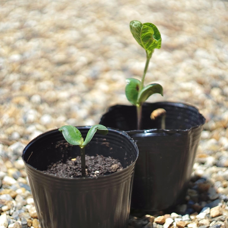 断根、摘芯前後の枝豆の苗