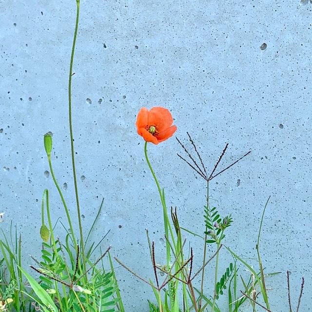 塀伝いに咲くナガミヒナゲシ
