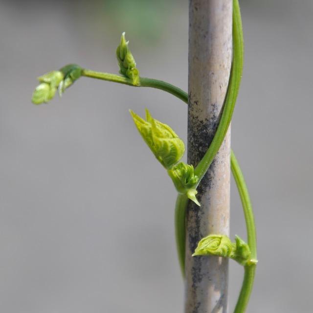 三度豆の蔓