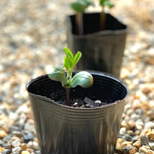 断根と摘芯をした黒枝豆の苗