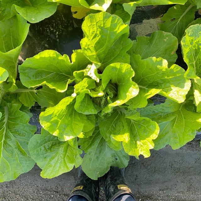 野菜畑の結球がはじまった白菜